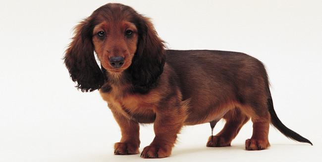 Royal Canin Dachshund Teckel Adulto Sobres