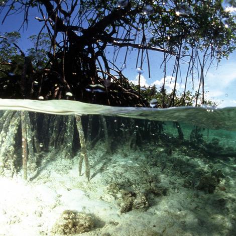 Raiz de Mangroven