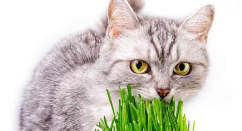 Hierba Aromática Suave para Gatos