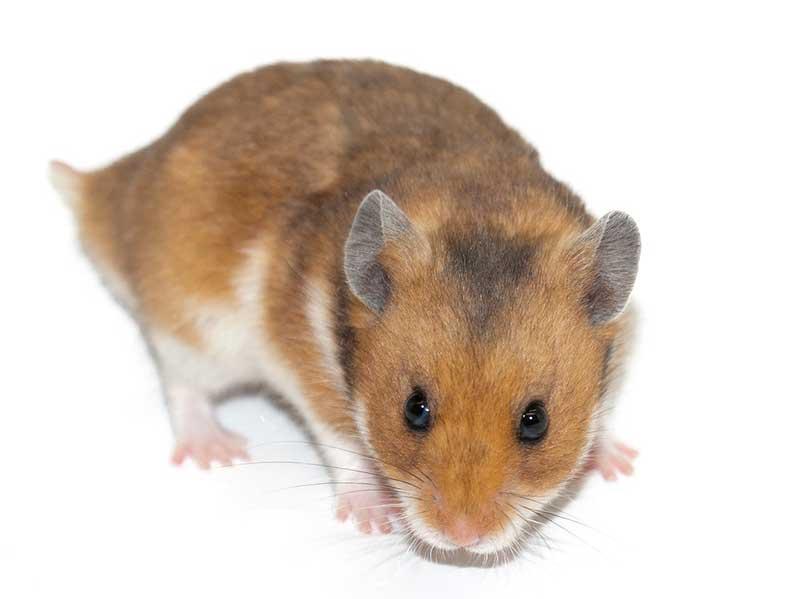 roedor-hamster.jpg